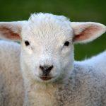 lamb pic